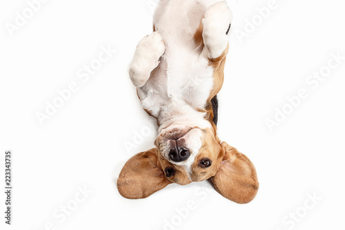 Stampa su Tela Front view of cute beagle dog sitting, isolated on a white studio background