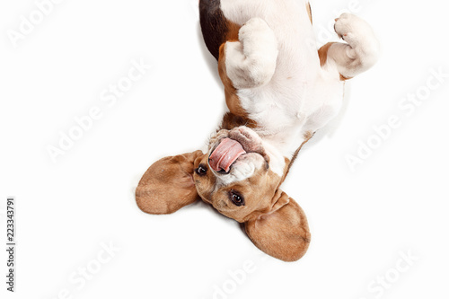 Vászonkép Front view of cute beagle dog sitting, isolated on a white studio background