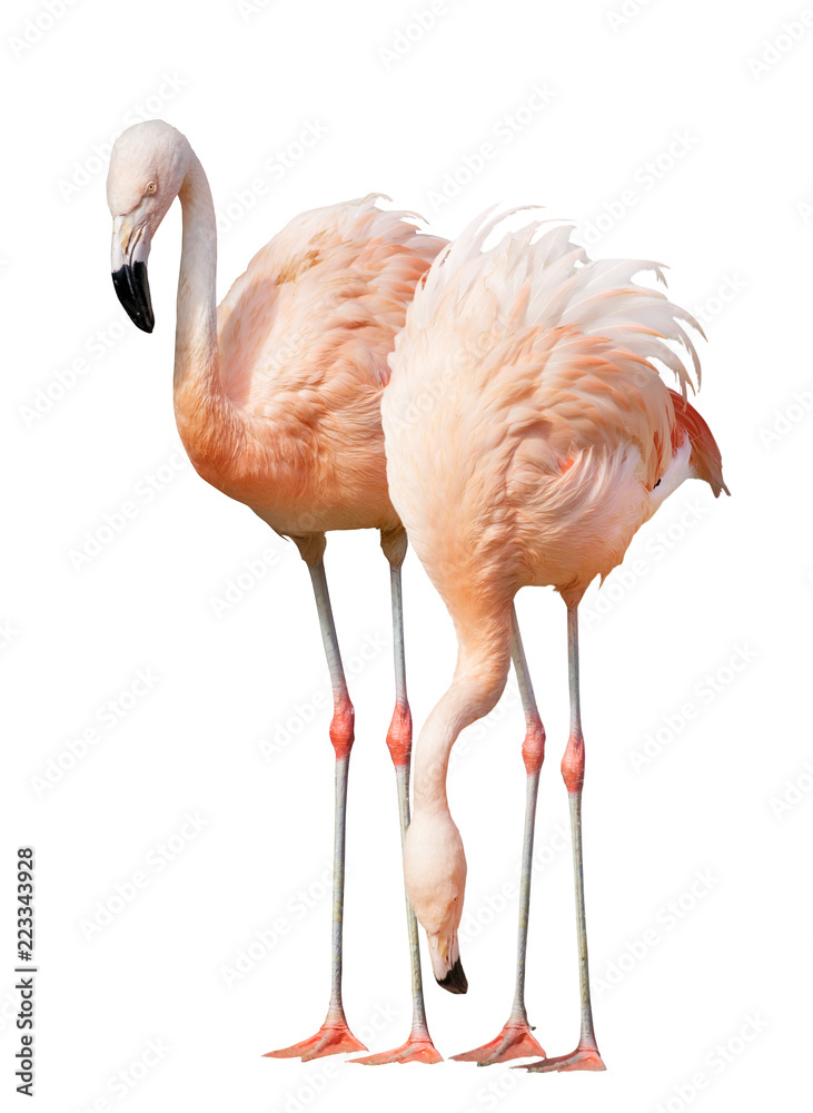 isolated on white two flamingo