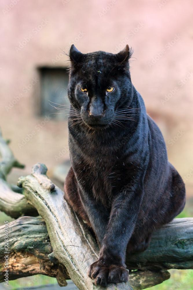 Beautiful black panther (African leopard (Panthera pardus pardus)) in captivity