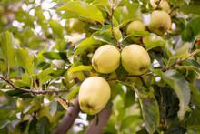 Frutteto Di Meli Con Rami Cari...