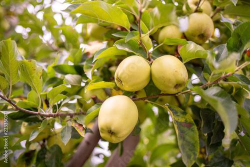 Fototapeta Frutteto di meli con rami carichi di mele gialle obraz