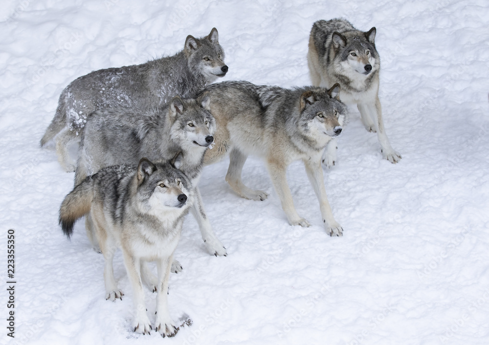 Timber wolves or grey wolves (Canis lupus) isolated on white background waiting to be fed in the winter snow in Canada