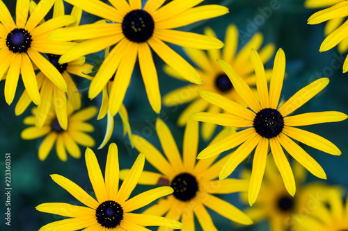 Fotografija  Black Eyed Susan- Rudbeckia fulgida in the late summer garden