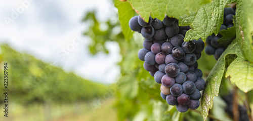 blue grapes in green vineyard
