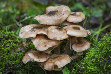 Woodland Fungi Mushrooms Which Are Often Called Toadstalls
