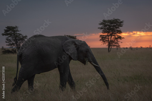 African elephant walks at sunset chewing branch