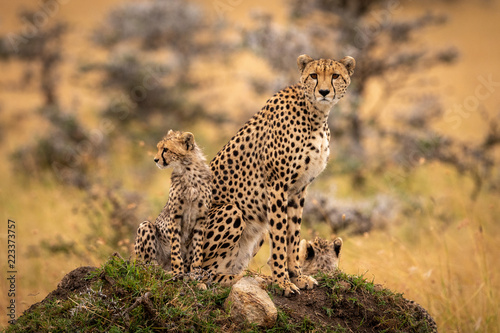 Cheetah and cubs sit together on mound