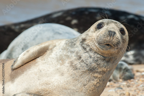 seal pup close-up with a happy expression
