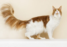 Red Adult Cat Breed Maine Coon