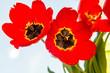 three red tulips close up