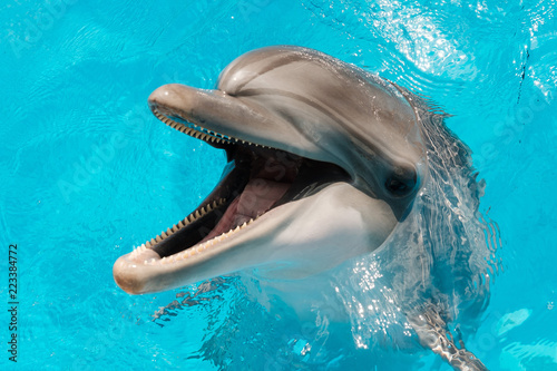 Leinwand Poster bottlenose dolphin swimming in blue water