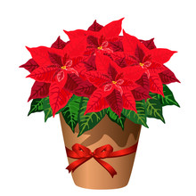 Poinsettia Plant In Pot With Red Bow (Christmas Star, Euphorbia Pulcherrima). Vector Illustration Isolated On White Background For Christmas Interior Design.