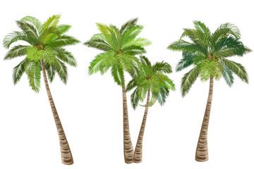 Kokosova palma (Cocos nucifera). Skup realističnih vektorskih ilustracija na bijeloj pozadini.