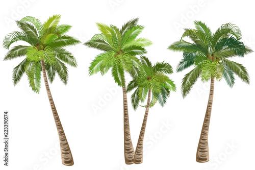 Fotografija Coconut palm tree (Cocos nucifera)
