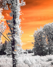 Infrared Tree Trees