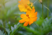 Closeup Yellow Flower In Garden