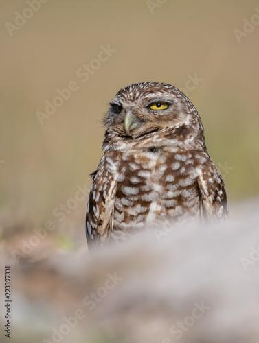 Deurstickers Uil Burrowing Owl