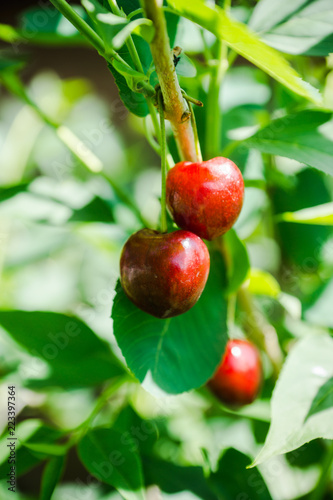 Photo sur Aluminium Oliviers Red ripe cherry in the garden. Selective focus. Shallow depth of field.