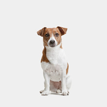 Jack Russell Terrier, Isolated On White At Studio