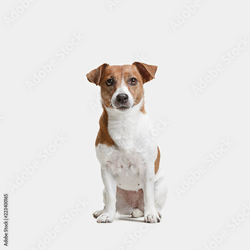 Fotografie, Obraz Jack Russell Terrier, isolated on white at studio