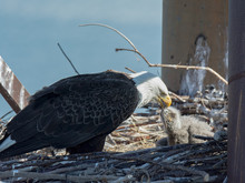 Bald Eagle Mother Feeding Chick