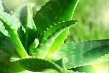 Aloe Vera Plant In Sunlight