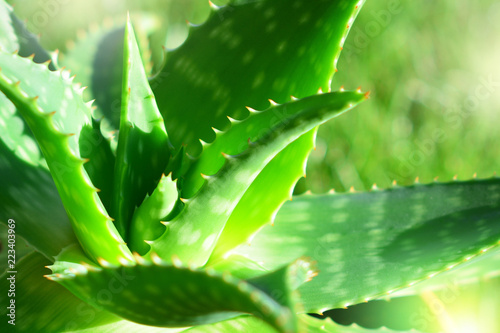 aloe vera plant in sunlight Canvas Print
