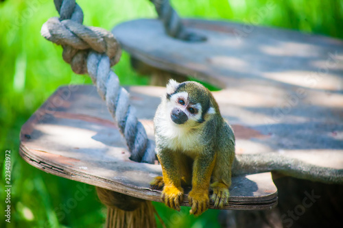 Funny squirrel monkey