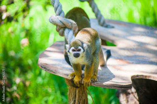 Foto op Plexiglas Aap Portrait of a squirrel monkey