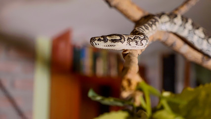 Snake crawls along the branch at home. Reptiles in role of domestic pets concept