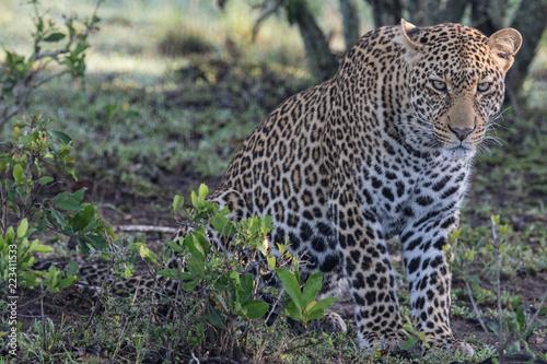 Deurstickers Luipaard Leopard (Panthera pardus) sitting in bush in Maasai Mara, Kenya