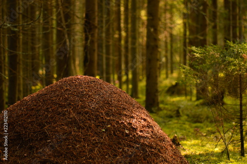 Wild nature of the anthill against the background of coniferous forest trees in Canvas Print