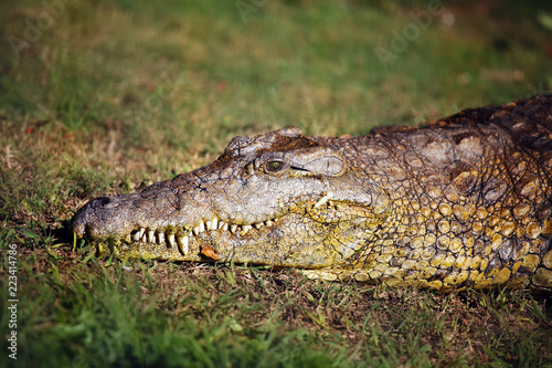 Foto op Aluminium Krokodil The Nile crocodile (Crocodylus niloticus), portrait of a great Nile crocodile in grass.