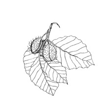 Beech Branch With Leaves And Fruits. Hand Drawn Botanical  Illustration