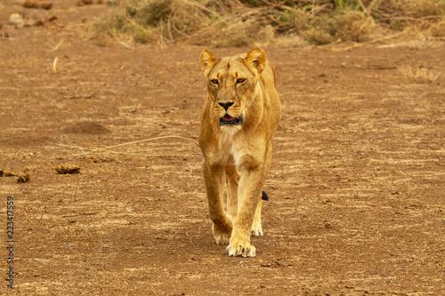 Photo  lioness