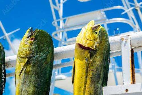 Fotografie, Tablou Freshly caught dolphin fish in a Florida Keys marina