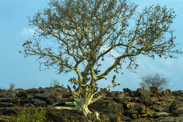 Fototapeta trees of the mashatu game reserve