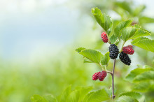 Ripe Mulberry Berries On A Branch With Leaves In The Garden. Space For Text. Green Berry Background.
