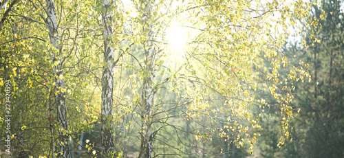 Rays of autumn, warm sun piercing through the birches - panorama
