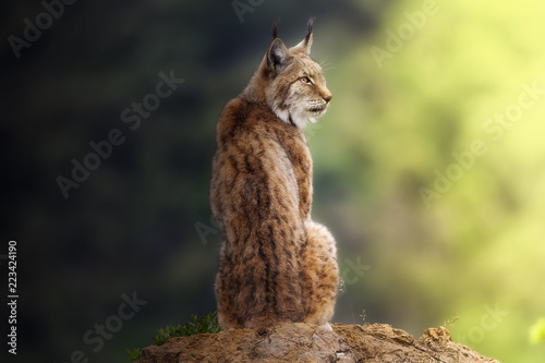 Lynx, Cabarceno, Cantabria, Spain