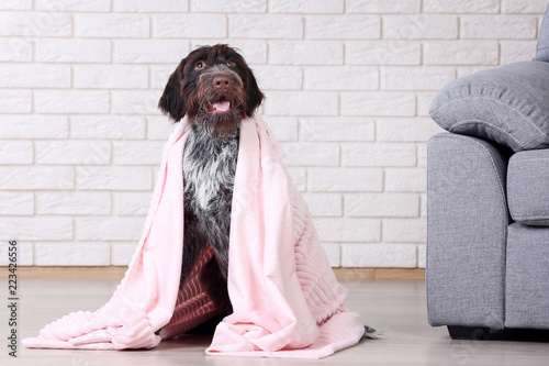 Fotografie, Obraz  German pointer dog with plaid sitting on the floor