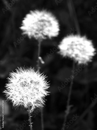 Fotobehang Paardebloem Dandelion in the grass