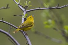 Yellow Warbler (Setophaga Petechia) In Spring