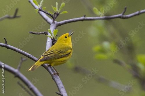 Obraz na płótnie Yellow warbler (Setophaga petechia) in spring