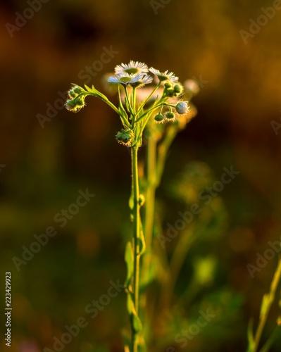 Fototapeta łodyga zielonego kwiatu stokrotki na tle blasku śłońca obraz