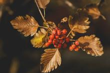 Swedish Ash Berry Tree, Closeup Photo. Ripe Red Juicy Berries In Autumn Park. Rowan Berrie. Mountain Ash (Sorbus). Edible Fruits Loved By Birds.European Sorbus Aucuparia