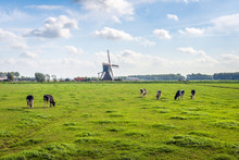 Typical Dutch Polder Landscape With A Grazing Cows In The Meadow