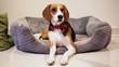 Sad and bored Beagle Dog