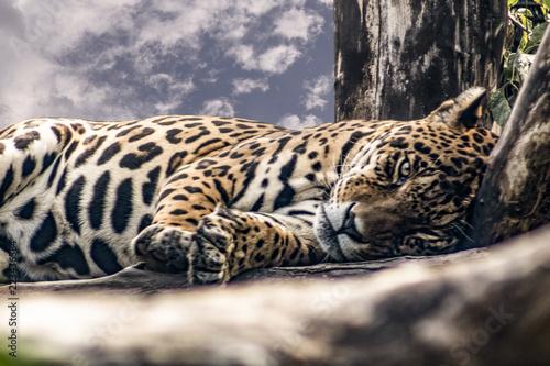 Jaguar - fototapety na wymiar
